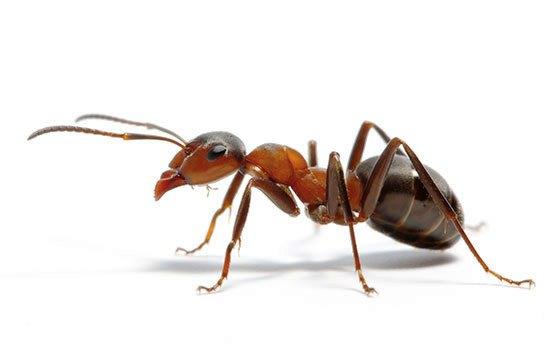mravenex